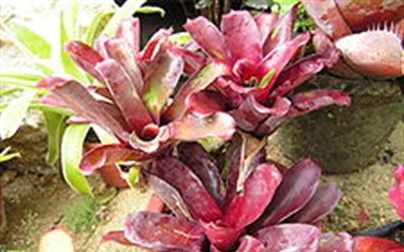 Bromeliad Picture