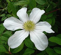 Huldine Clematis Picture