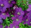 Perrins Pride Clematis Picture