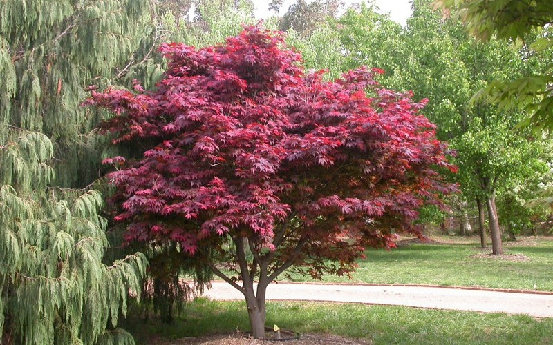 Red Select Japanese Maple Picture