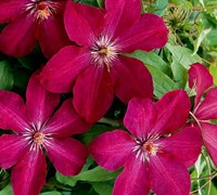 Rouge Cardinal Clematis Picture
