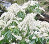 Mountain Snow Pieris