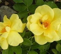 Carefree Sunshine Rose Picture