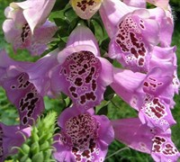 Foxy Mix Foxglove Picture
