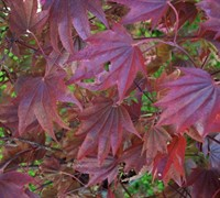 Adrian's Compact Japanese Maple Picture