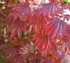 Adrian's Compact Japanese Maple
