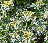 Lemon Zest Abelia Picture