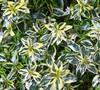 Lemon Zest Abelia