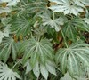 Spiders Web Fatsia Picture