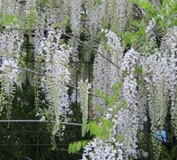 Snow Showers Wisteria Picture