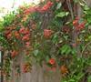Tangerine Beauty Bignonia
