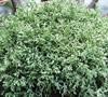 Snow False Cypress