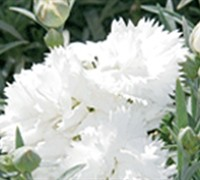 Early Bird Frosty Dianthus Picture