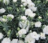 Early Bird Frosty Dianthus