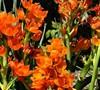 Orange Star Flower