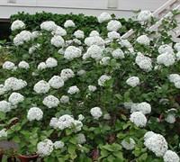 Fragrant Snowball Viburnum Picture
