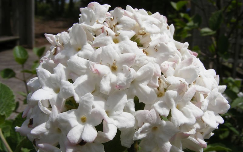 Fragrant Snowball Viburnum Picture