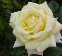 Peace Rose Picture