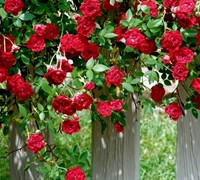 Red Cascade Rose Picture