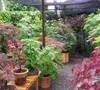 Rear Japanese Maple Garden 2013