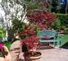 Bloodgood Japanese Maples - Inground and potted 2013