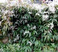 Armandi Evergreen Clematis Picture