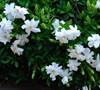 Creeping Gardenia