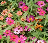 Profusion Mix Zinnia Picture