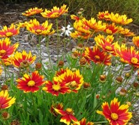 Daybreak Coreopsis Picture
