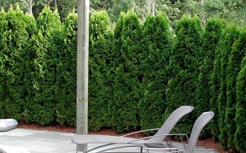 Emerald Green Arborvitae Picture