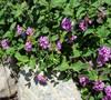 Trailing Lavender Lantana