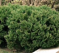 Tiny Tim Arborvitae Picture