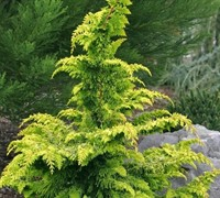 Gold Tip Fernspray Cypress Picture