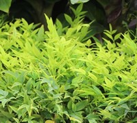 Lemon Lime Nandina Picture