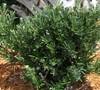 Pringles Dwarf Podocarpus Yew