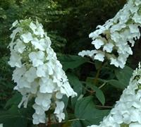 Semmes Beauty Oakleaf Hydrangea Picture