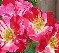 Fourth Of July Climbing Rose Picture
