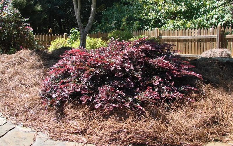 Crimson Fire Dwarf Loropetalum Picture