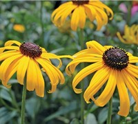Early Bird Gold Rudbeckia Picture