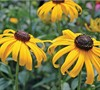Early Bird Gold Rudbeckia
