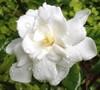 Fall In Love Hardy Gardenia
