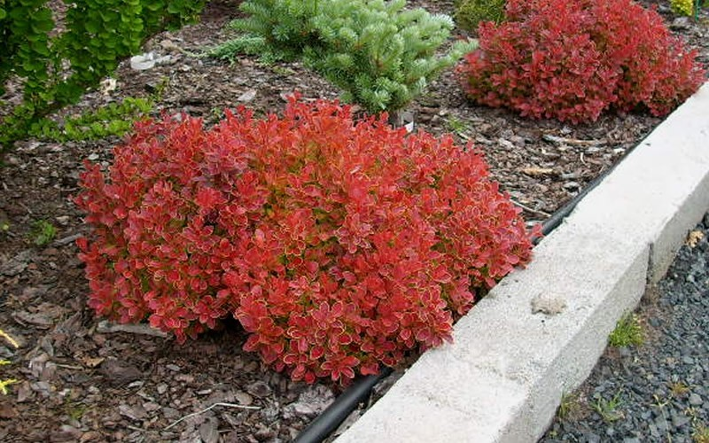Admiration Barberry Picture