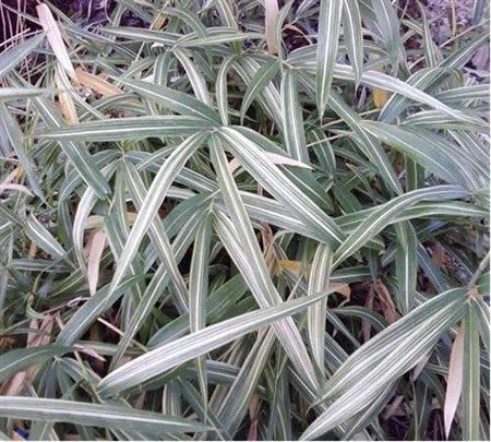 Picture of Cream-striped Bamboo