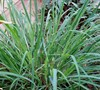 West Indian Lemon Grass