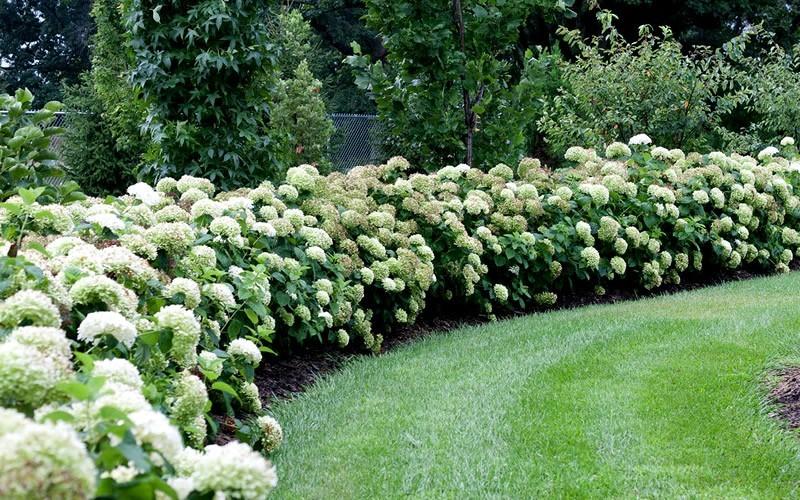 Incrediball Hydrangea Picture