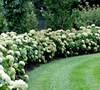 Incrediball Hydrangea