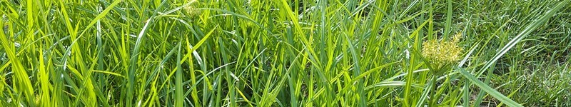 How To Kill Nutsedge In Lawns And Gardens