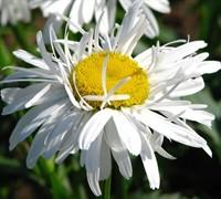 Crazy Daisy Leucanthemum Picture