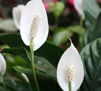 Peace Lily Picture