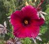 Mahogany Splendor Hibiscus